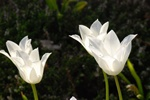 Cultivated Tulip (Tulipa gesneriana)